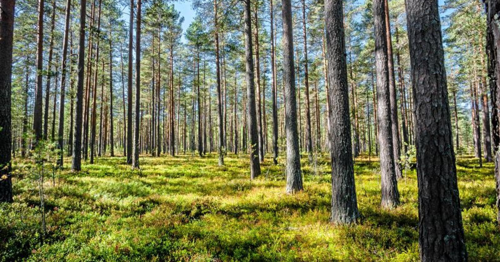 Jeg ikke går i skogen lenger, skriver innsenderen. Foto: Jan Erstad / Mostphotos