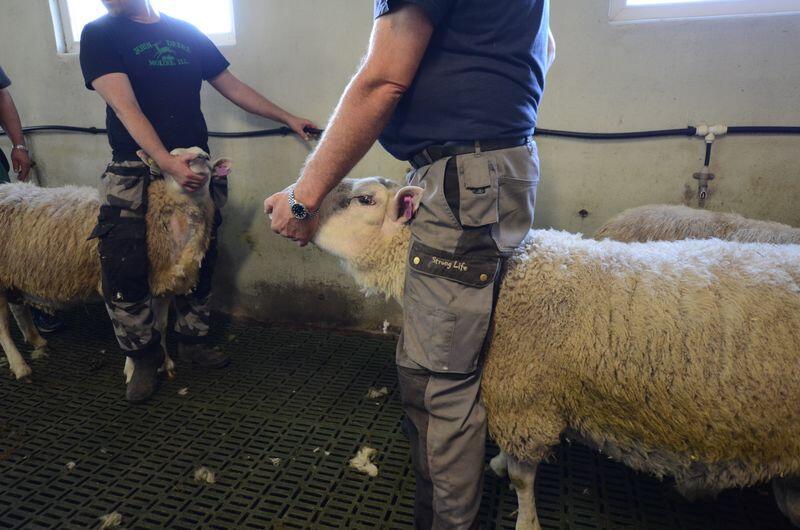Bildet er tatt i forbindelse med mædi-testing av en værering i Verdal. Resultatene viste at værene var smittefri. Foto: Liv Jorunn Denstadli Sagmo