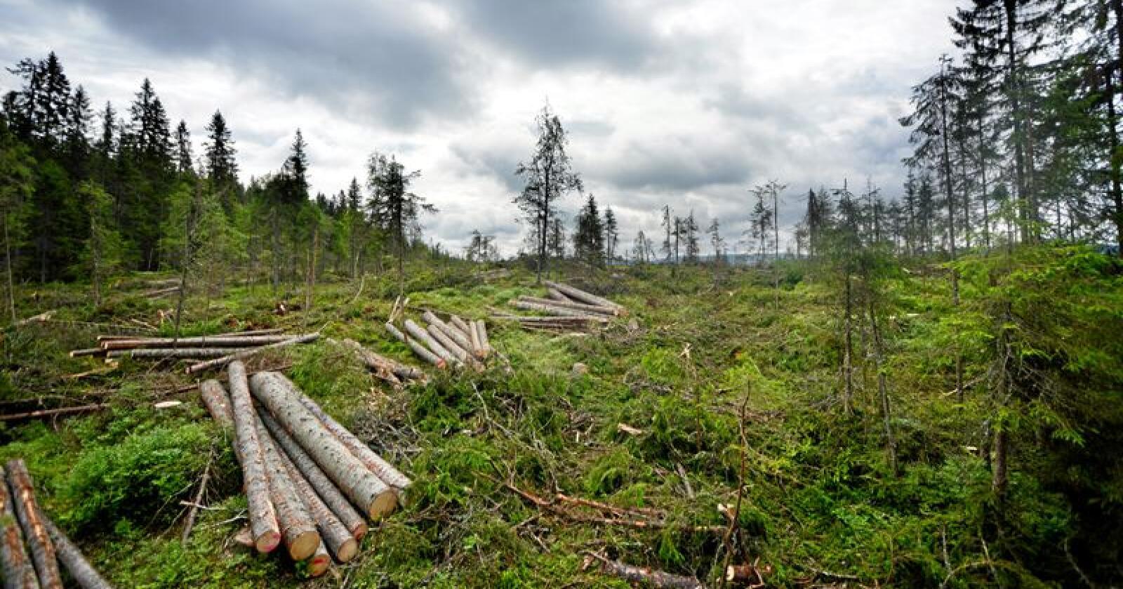 Naturvernforbundet mener skognæringen ikke gjør nok for å unngå at fugler blir berørt i hekkeperioden. Foto: Siri Juell Rasmussen