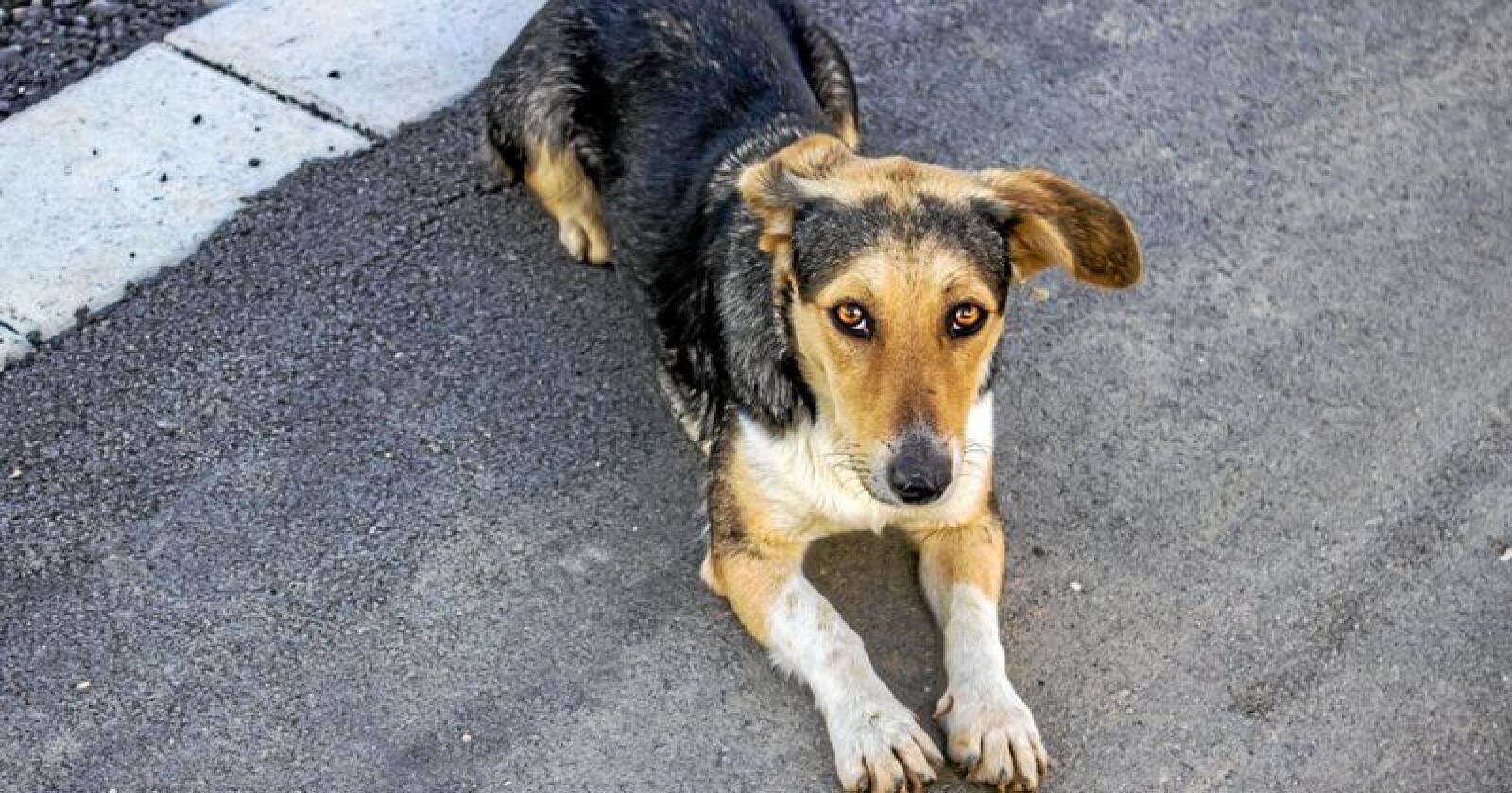 Analyserte prøver fra hunder som man mistenker er rammet av den fortsatt ukjente sykdommen, som har ført til at flere hunder har dødd de siste dagene. Minst 26 hunder er registrert døde i Norge etter å ha hatt blodig diaré den siste tiden. Illustrasjonsbilde: Colourbox
