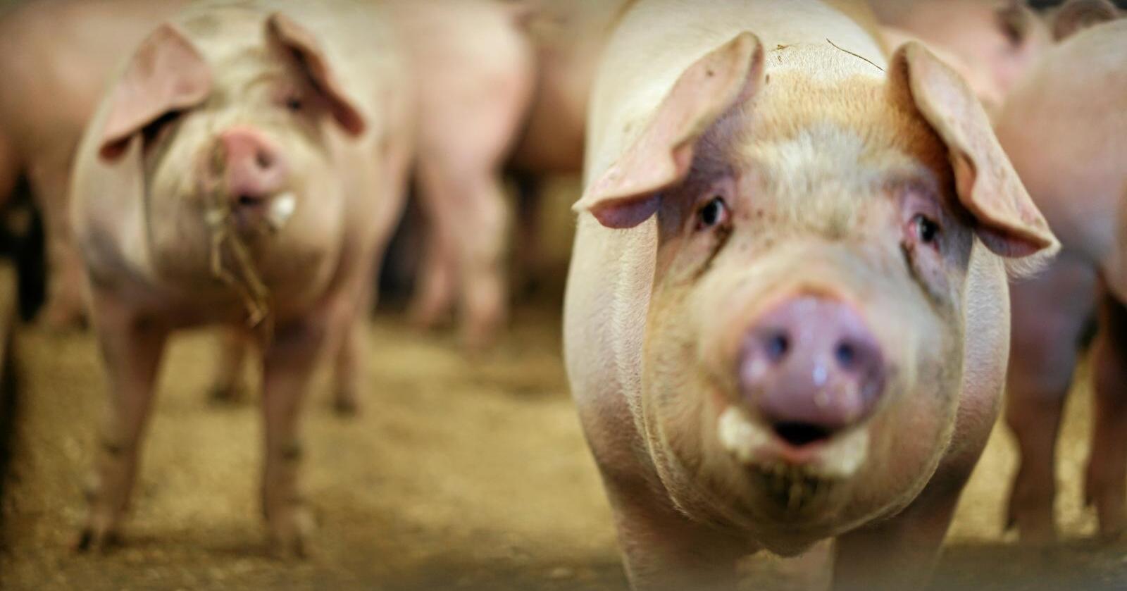 Ny smitte: Tre svinebesetninger i ulike steder i landet er smittet av ukjente typer antibiotikaresistente bakterier. Foto: Benjamin Hernes Vogl