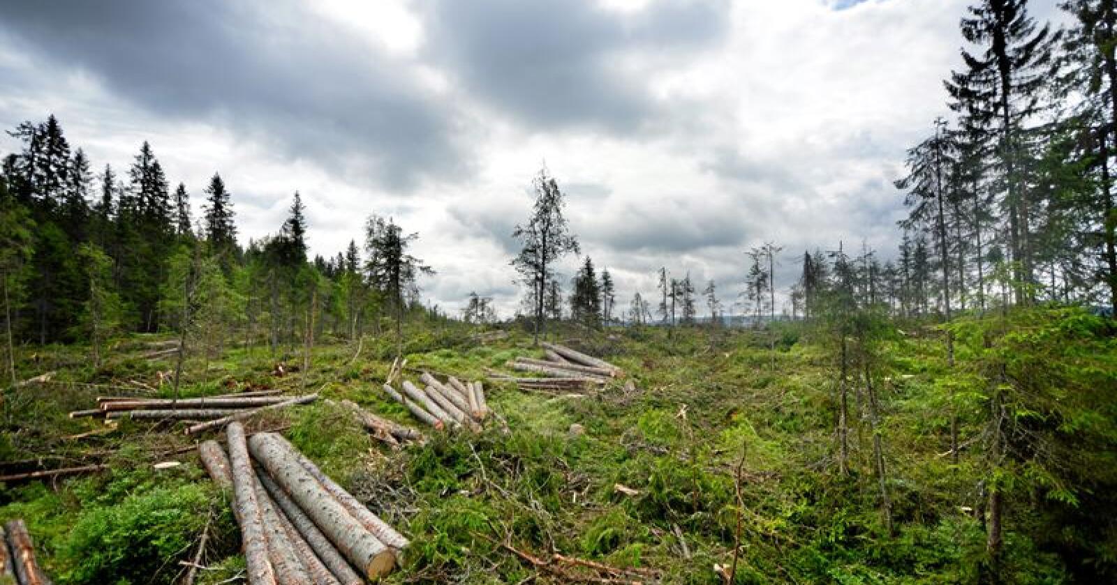 Avskoging: Hogst hjelper ikke klimaet når skogeierne ikke planter til igjen. Foto: Siri Juell Rasmussen