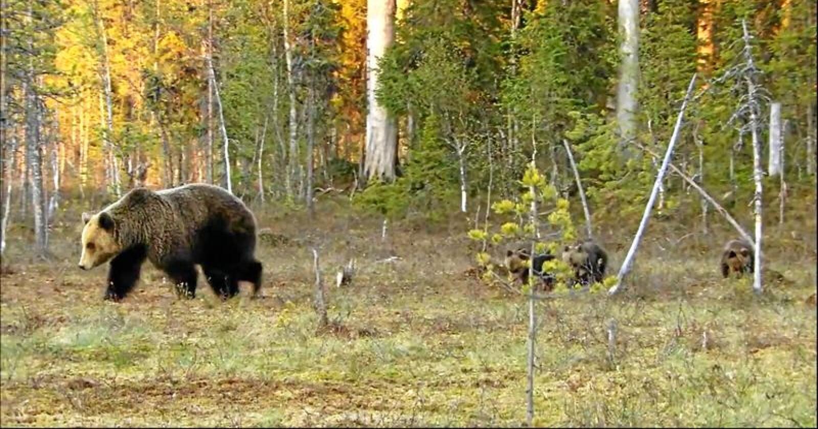 Klima- og miljødepartementet gi bjørnebinner i beiteprioriterte områder sterkere beskyttelse. Foto: Saajaja / Wikimedia Commons (CC BY-SA 3.0)