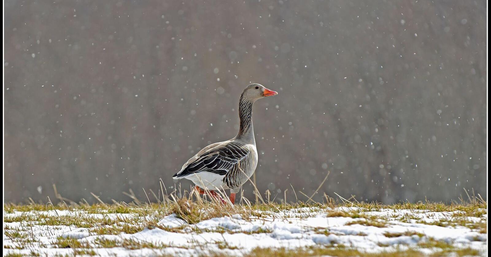 Ny tilfeller av fugleinfluensavirus oppdaget på nyåret, bidrar til at de nåværende restriksjonene på norske fjørfebesetninger opprettholdes. Foto: Jo Jorem Aarseth