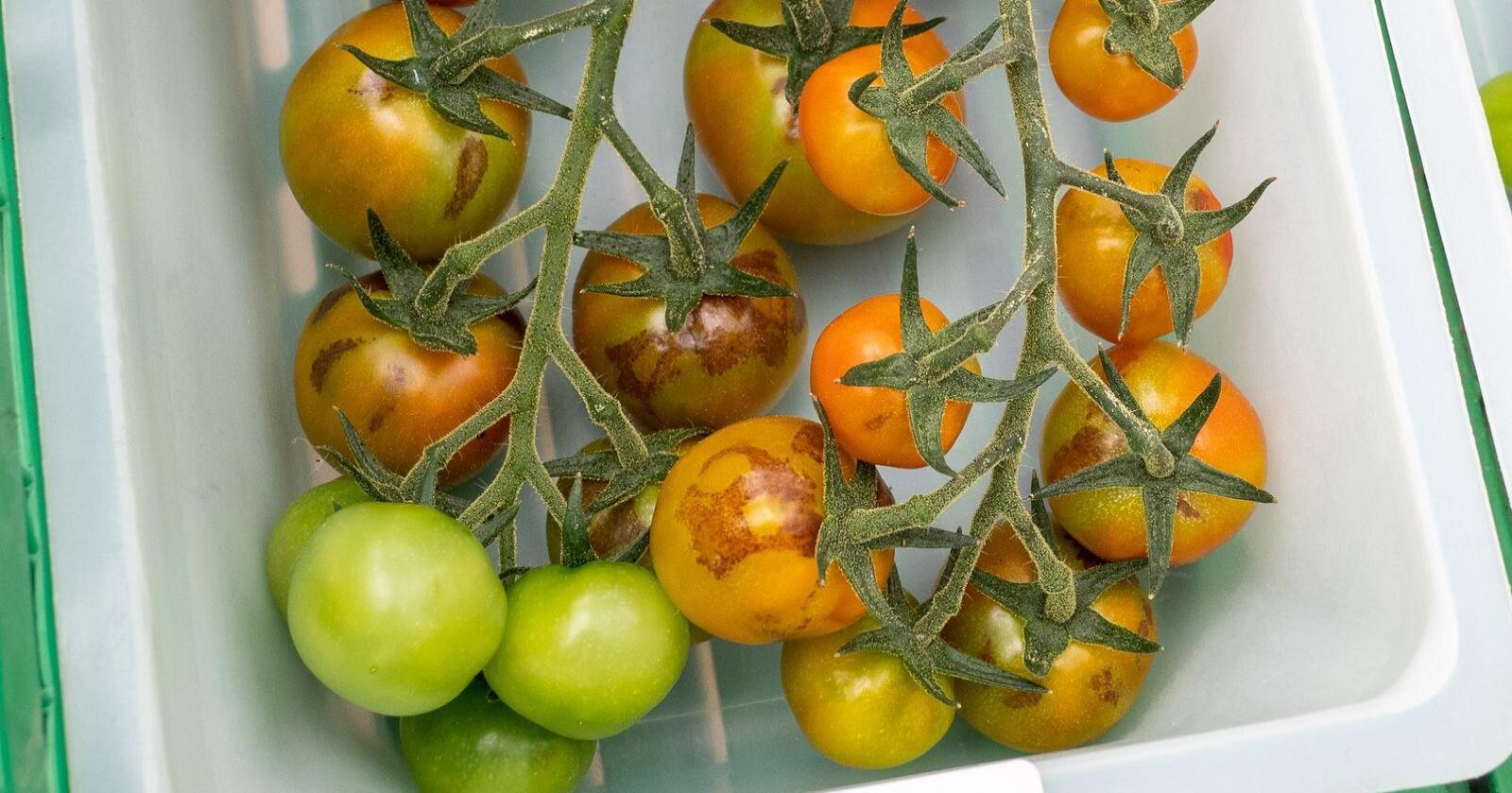 Det er mistanke om viruset Tomato brown rugose fruit virus (ToBRFV), eller tomat-brunflekkvirus, ved NMBU. Alle foto: Dag-Ragnar Blystad