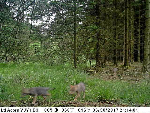 Disse ulvevalpene er den endelige bekreftelsen på at minst ett ulverevir har etablert seg i Danmark. Den tredje valpen sees såvidt i bakgrunnen. Foto: Naturstyrelsen
