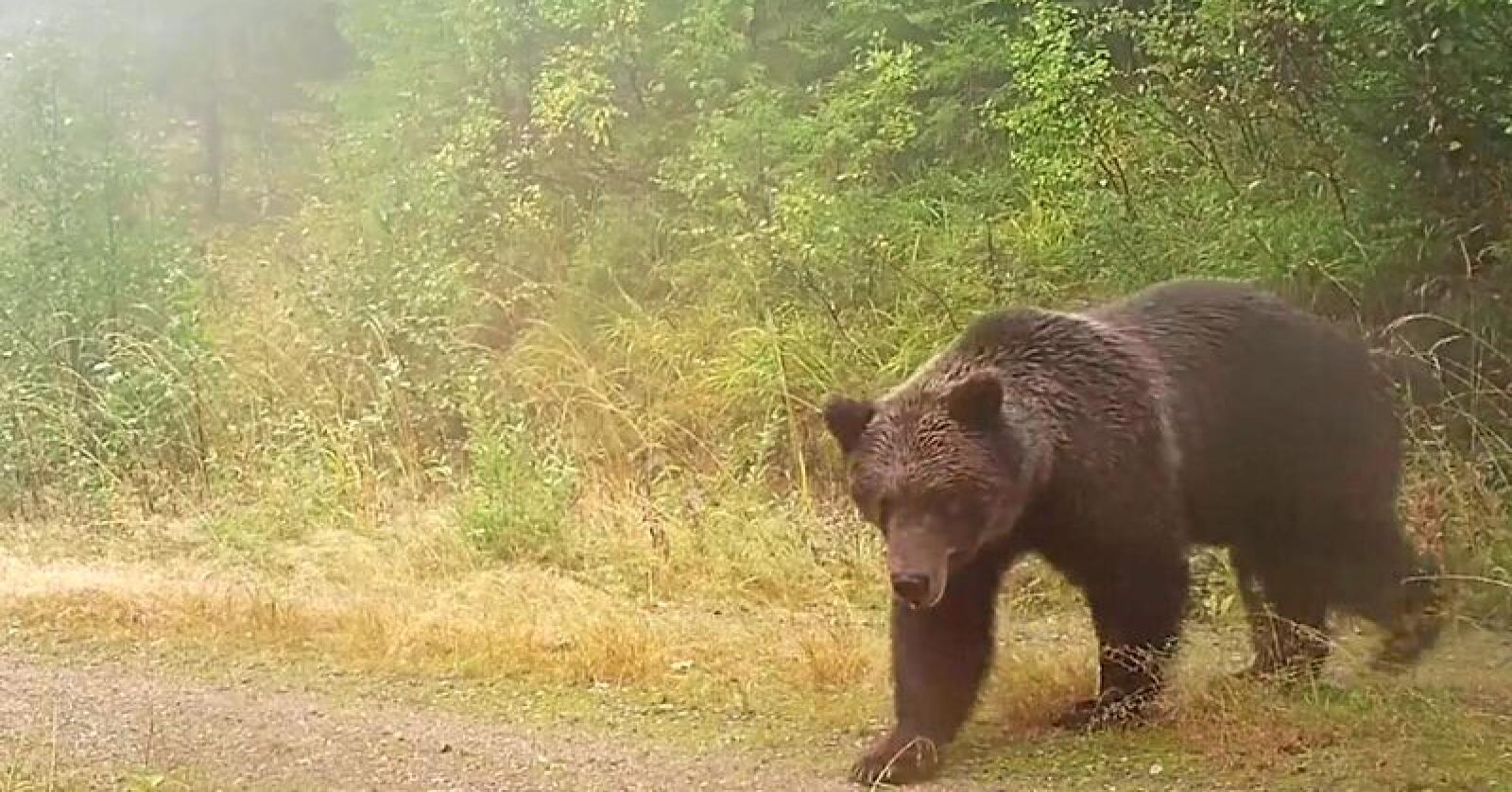 Her passerer en bjørn viltkameraet til Nina. Foto: Skjermdump / NINA