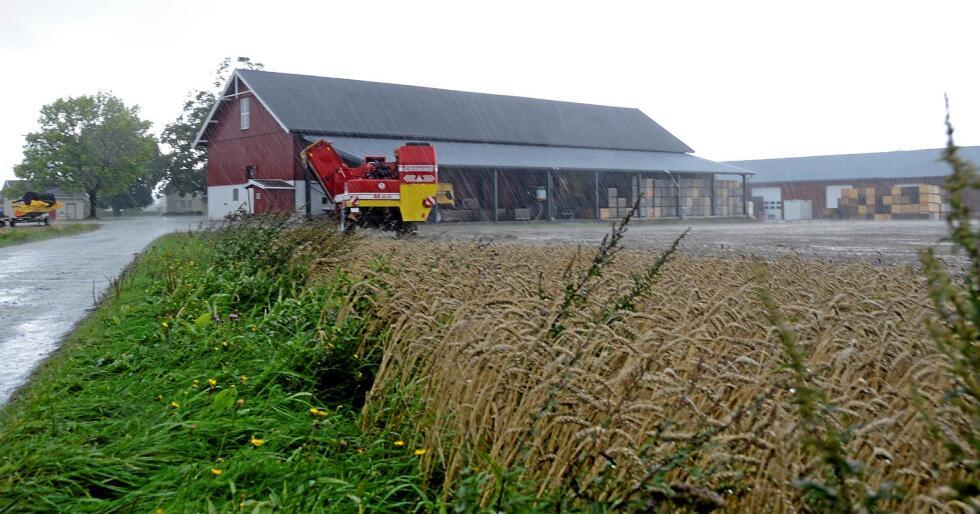 Flere steder i kornområdene har avlingene regnet bort, eller blitt stående for lenge fordi uværet har gjort det vanskelig å treske. Her fra en gård i Rygge i Østfold. Foto: Mariann Tvete