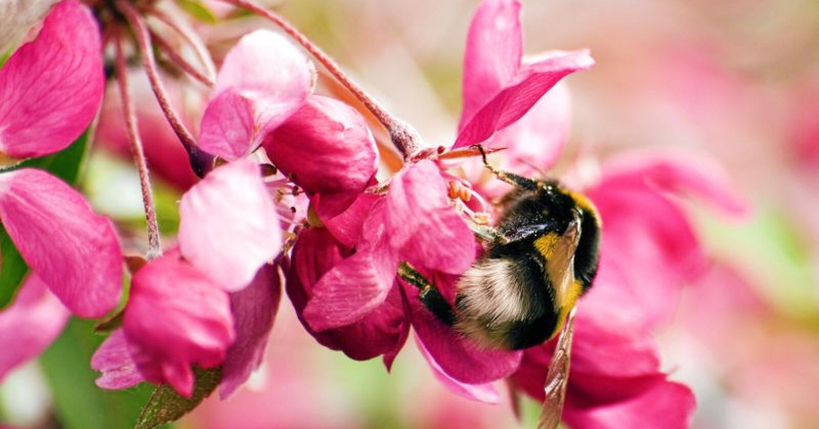 Fruktbart samarbeid: Bier og epleblomster. Foto: NREY