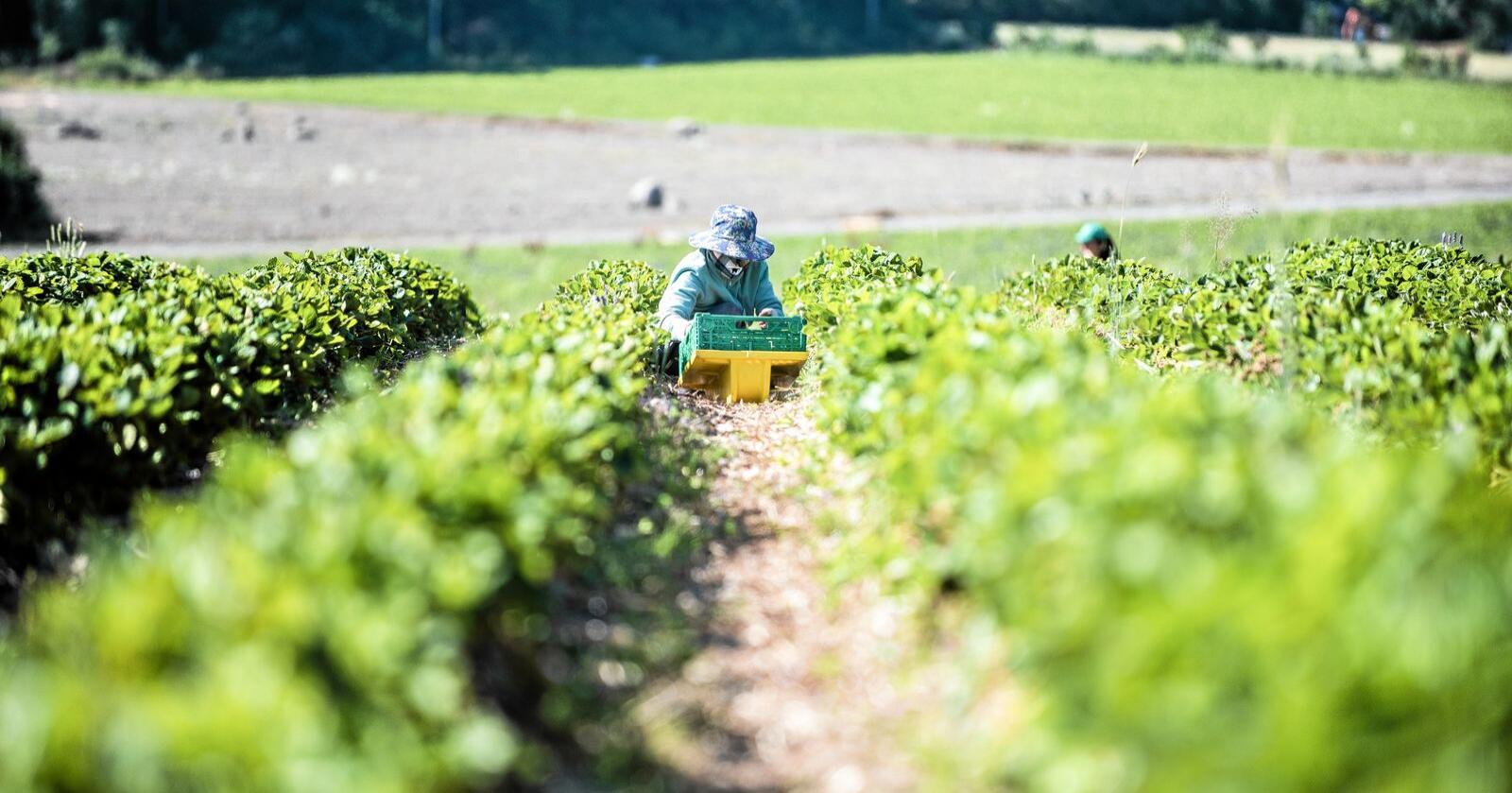 Seniorrådgiver ved Nibio mener norsk matproduksjon kan få problemer uten sesongarbeidere. Foto: Vidar Sandnes