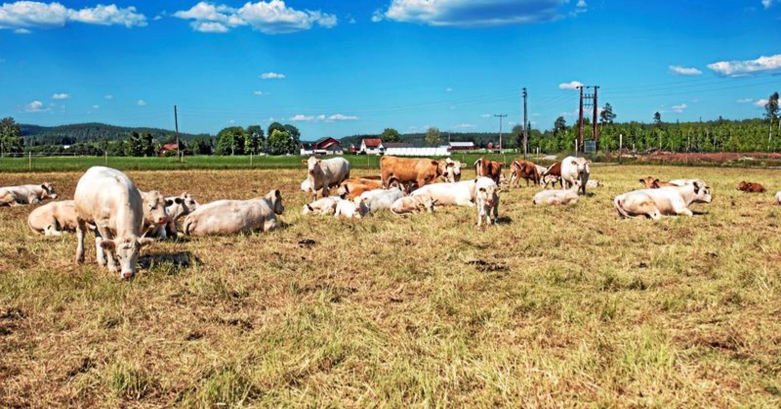 Under tørketida i fjor hadde bonden ikke nok mat til dyrene. Han måtte slakte deler av besetningen. Foto: Tor Erik Schrøder / NTB scanpix