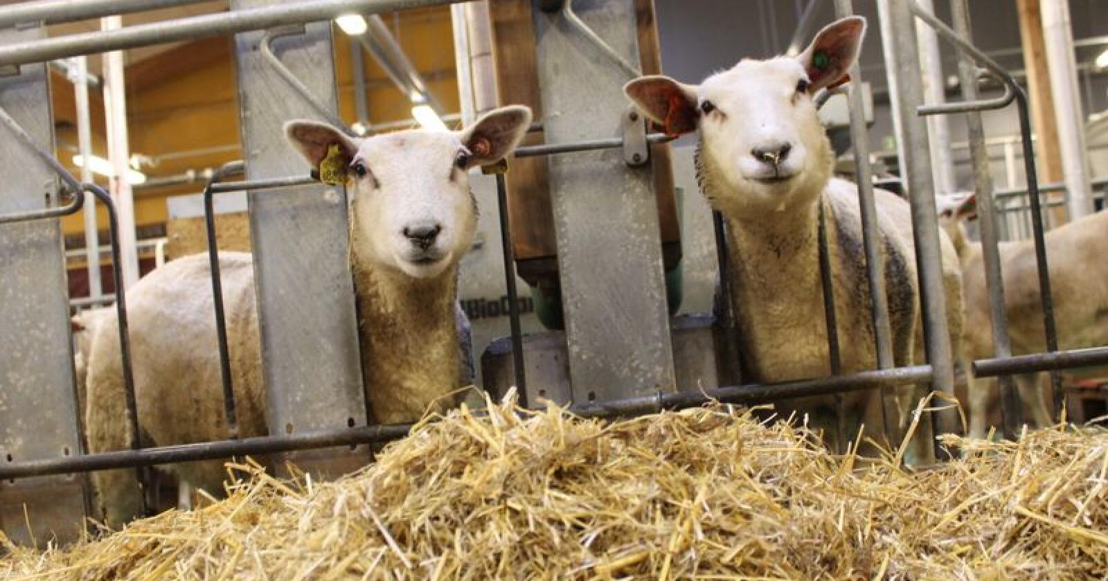 Mulig marked: Storbritannia er et interessant marked for norsk lammekjøtt, mener Bjørn Eidem, forsker i Ruralis. Foto: Marit Glærum