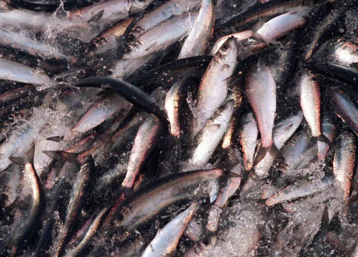 Havforskarane kuttar kraftig i kvoterådet for NVG-sild for neste år. Foto: Lise Åserud / NTB scanpix / NPK