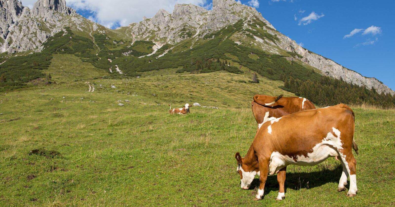 Fjellbøndene i Østerrike har lykkes med å øke produksjonen av melk de siste årene, og eksport til flere land. Foto: Lubos Chlubny/Mostphotos