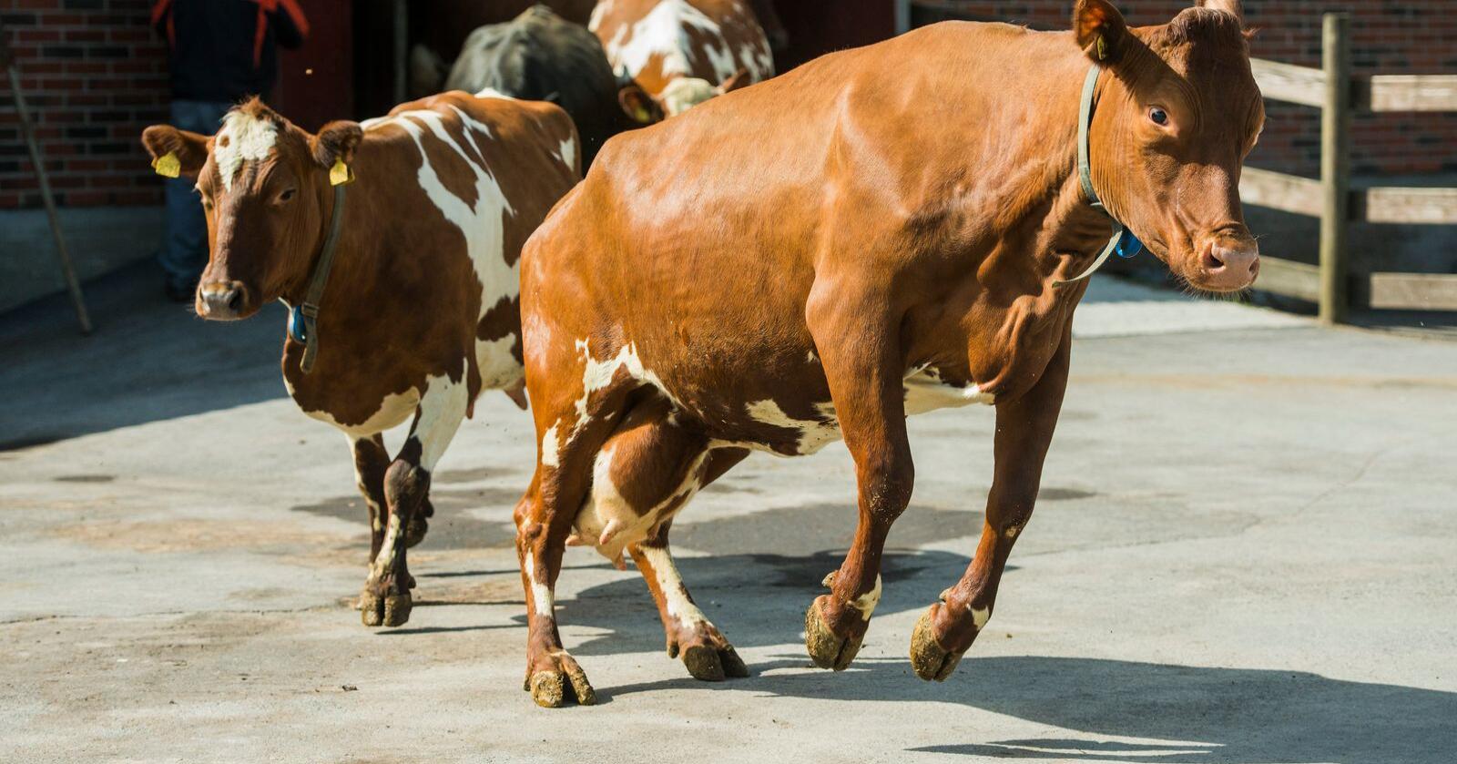 EMB mener EU-kommisjonen umiddelbart må begynne å forberede en koordinert ordning for reduksjon av produksjonsvolum av melk. Foto: Fredrik Varfjell / NTB scanpix