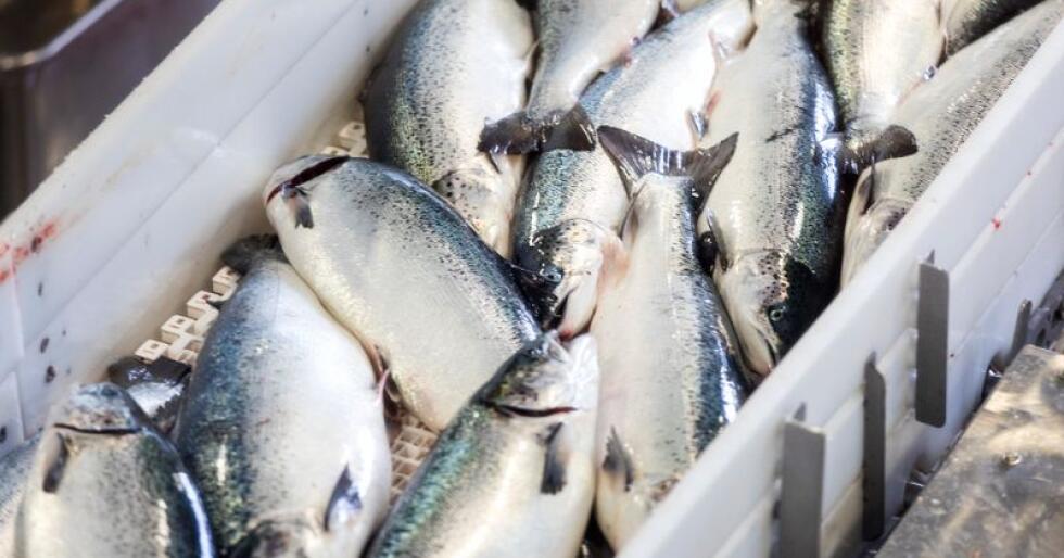 Fiskeeksporten endte på 10,7 milliarder kroner i oktober. Det er en økning å 9,7 prosent sammenlignet med oktober i fjor. Foto: Gorm Kallestad / NTB scanpix