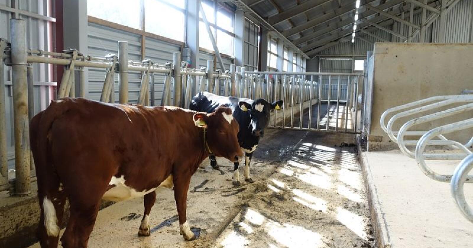 Kvigene Andrea og Annea skal ikke selges tilbake til oppdretter. Nå skal de auksjoneres bort på Dyrskun. Foto: Eva Husaas/Geno