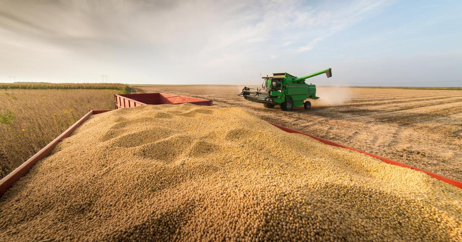 Soya: Norge har gjort seg avhengig av fôrimport. Det gjør oss sårbare i klimakrisetider. Foto: Shutterstock