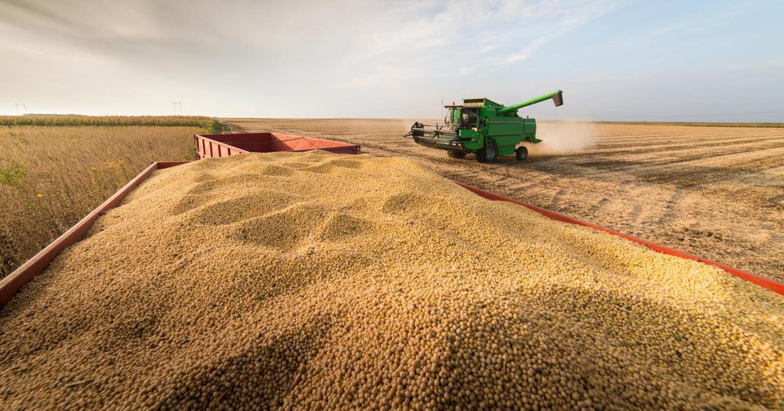 PRISHOPP: Prisen på soya har steget med 50 prosent på et halvt år, og det får konsekvenser for kraftfôrprisen i Norge.