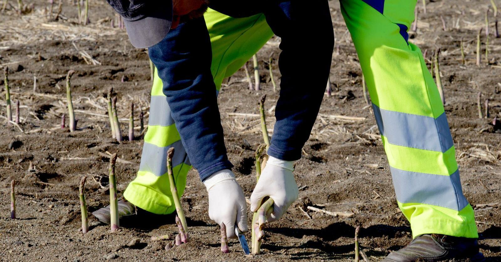 No kan du finne ut kvar det er best å dyrke ulike grønsaker i Norge. Her frå aspargesdyrking på Hvasser. Foto: Mariann Tvete