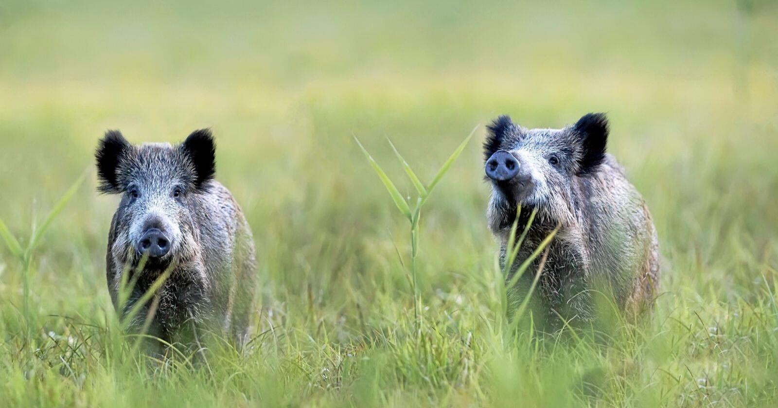 UØNSKET: I Norge står villsvinet på svartelista, mens i Sverige er arten regnet som en innfødt art. På grunn av flytting og fôring teller den svenske bestanden cirka 150 000 dyr. Illustrasjonsfoto: Mostphotos.