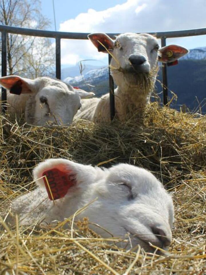 LAMMING: På Fardal er det ca 130 vinterfôra søyer. Foto: Marit Glærum.