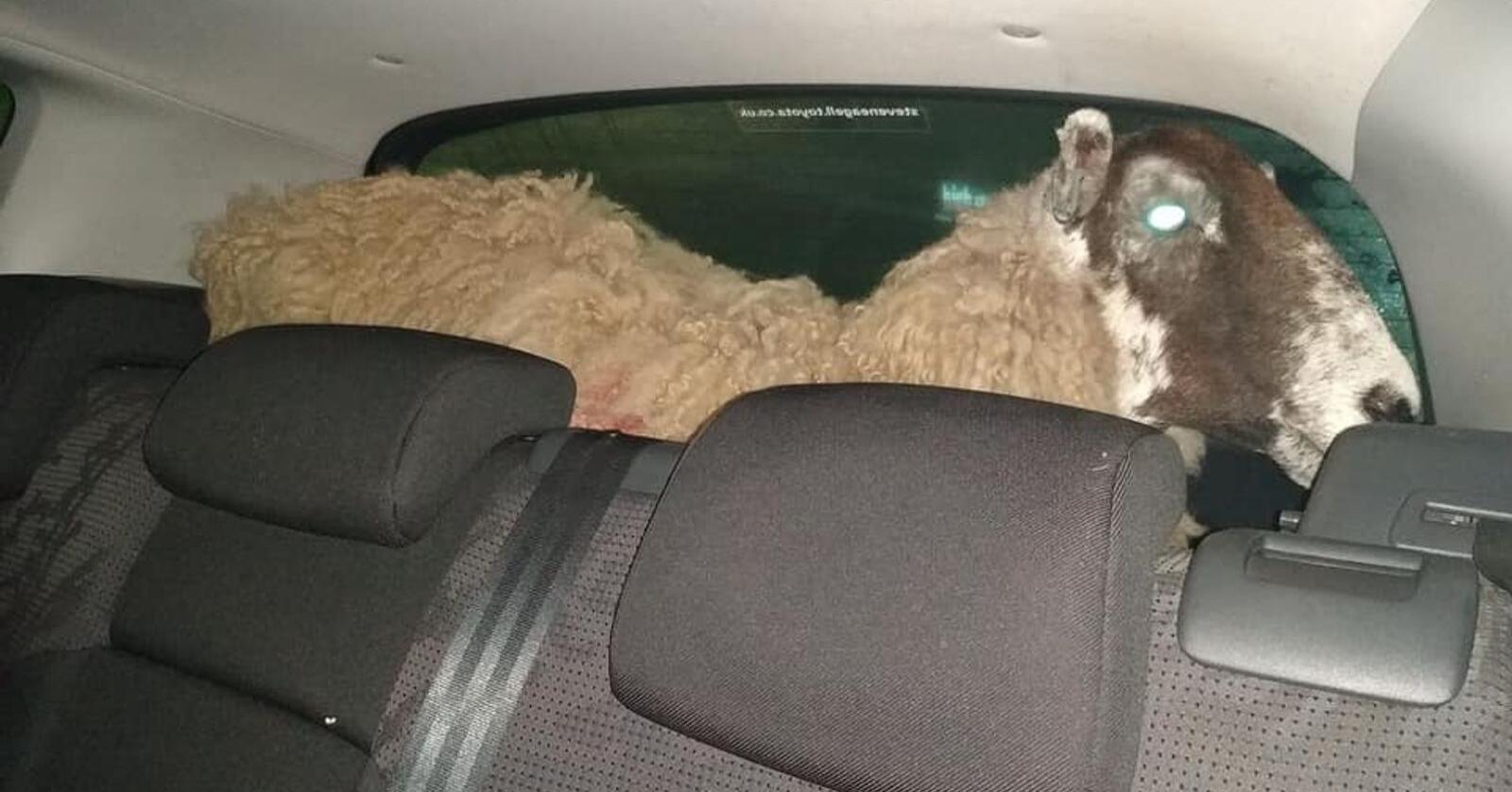 Politiet oppdaget en sau i bagasjerommet da de stoppet en bil i England. Foto: Politiet i Leicestershire og Rutland