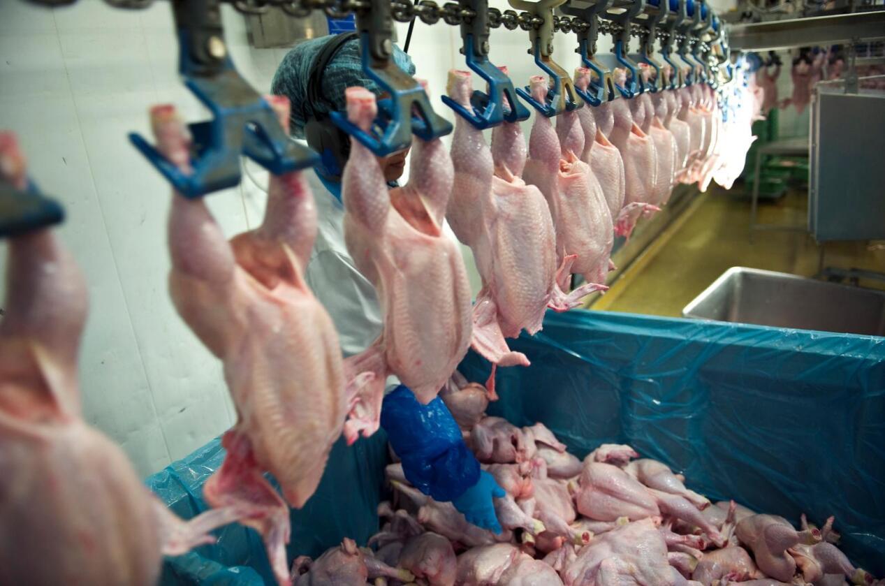 Kyllingene på bildet har ingenting med campylobacter-smittede kyllinger å gjøre. Foto: Tommy Hvitfeldt/Colourbox