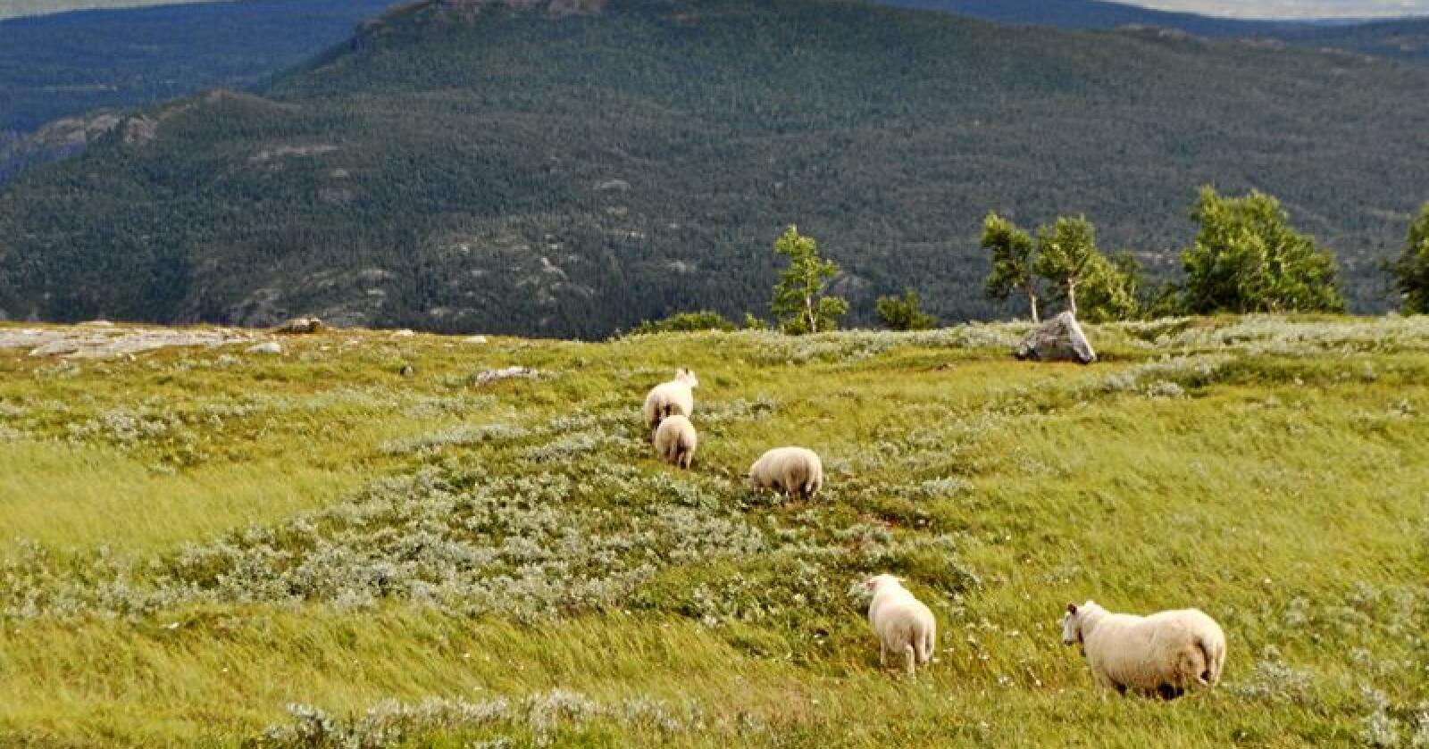 Beite: Det må vera eit tankekors å sjå at det mest miljøvenlege, kortreiste og berekraftige kjøtet – produsert på friske og grøne norske fjellbeite – i beste fall kan brukast til minkfôr. Foto: Hilde Lysengen Havro