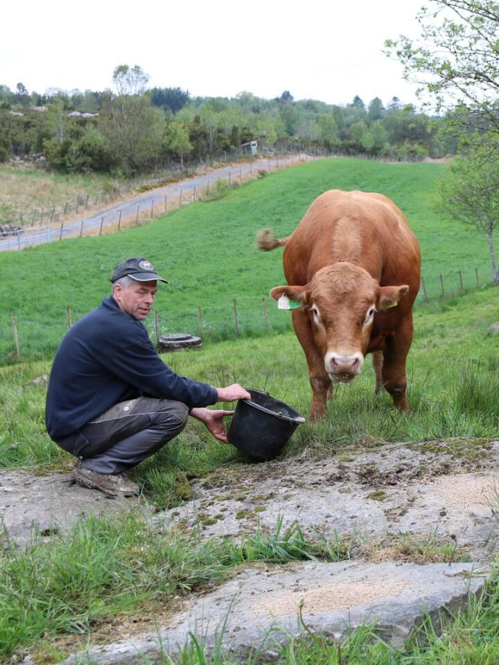 UNGOKSE: Nestor av Utgårdstrøen har som jobb å bedekke rundt 20 kyr og kviger på beite denne sommaren.