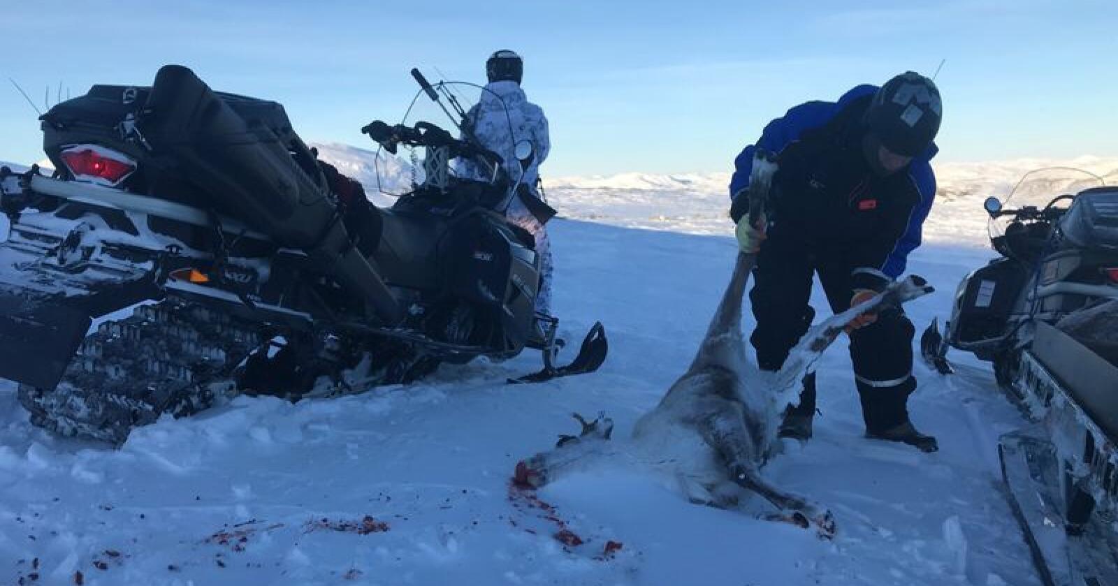 Etter seks uker med statlig jakt av villrein i Nordfjella i vinter var 531 dyr felt. Da gjensto fremdeles om lag 1.000 rein i stammen, som skal utryddes helt. Foto: Sondre Dalaker / NRK / NTB scanpix