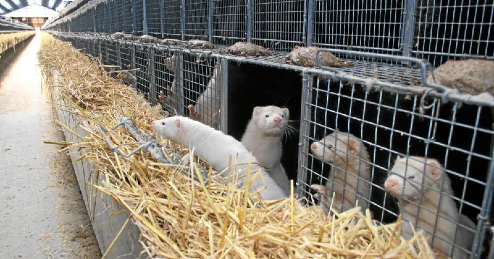 Kompensasjonskutt: Måten regjeringa har innretta kompensasjonen til pelsdyrbøndene gjer at beløpet blir mindre og mindre for kvart år. Det har fleire uheldige sider, ifølgje bank. Foto: Bjarne Bekkeheien Aase