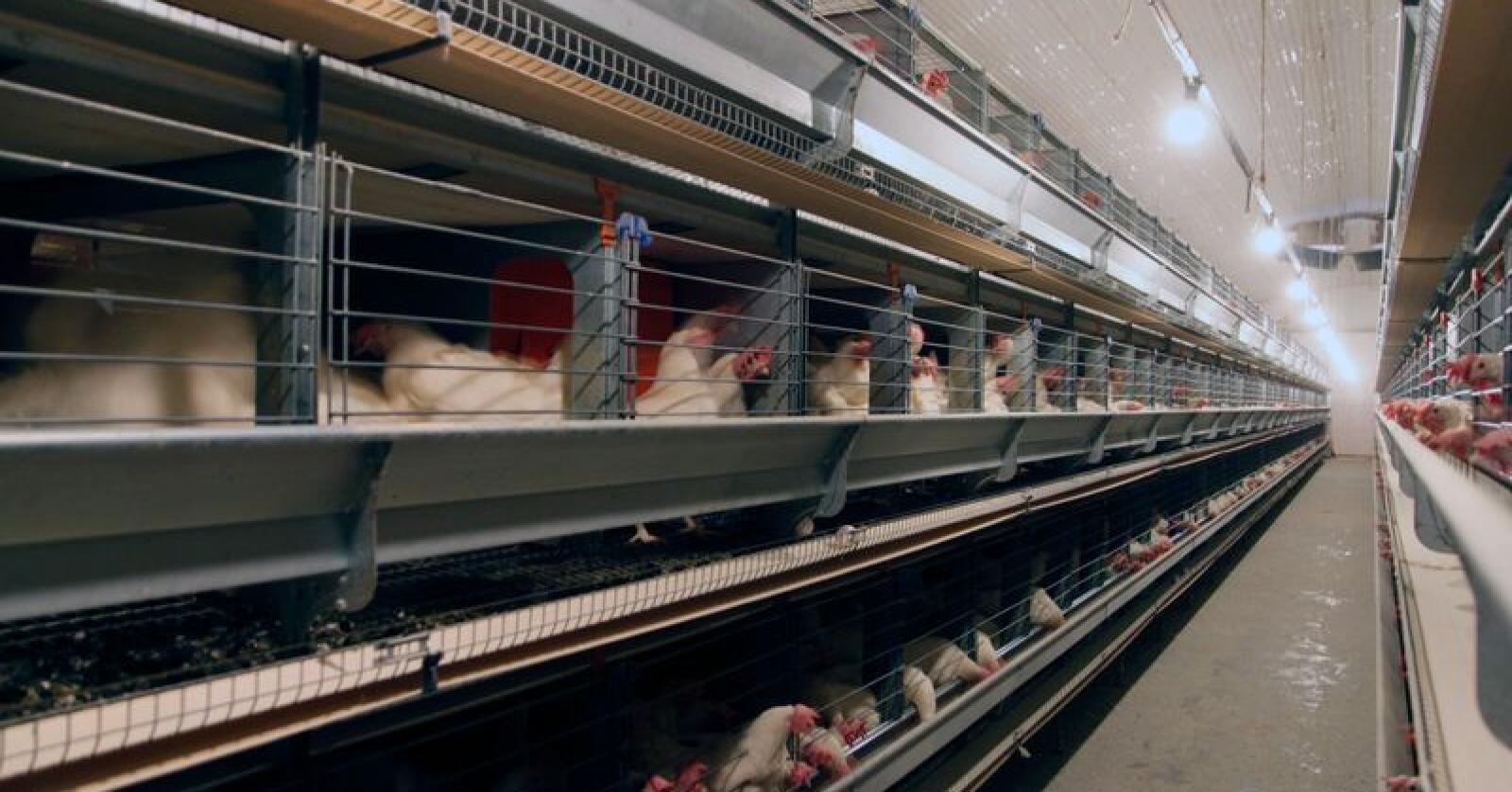 Industri og storhusholdning, som tidligere har vært mer sikre mottakere av egg fra miljøbur, er nå på frittgående tanker. Illustrasjonsfoto: Øystein Heggdal