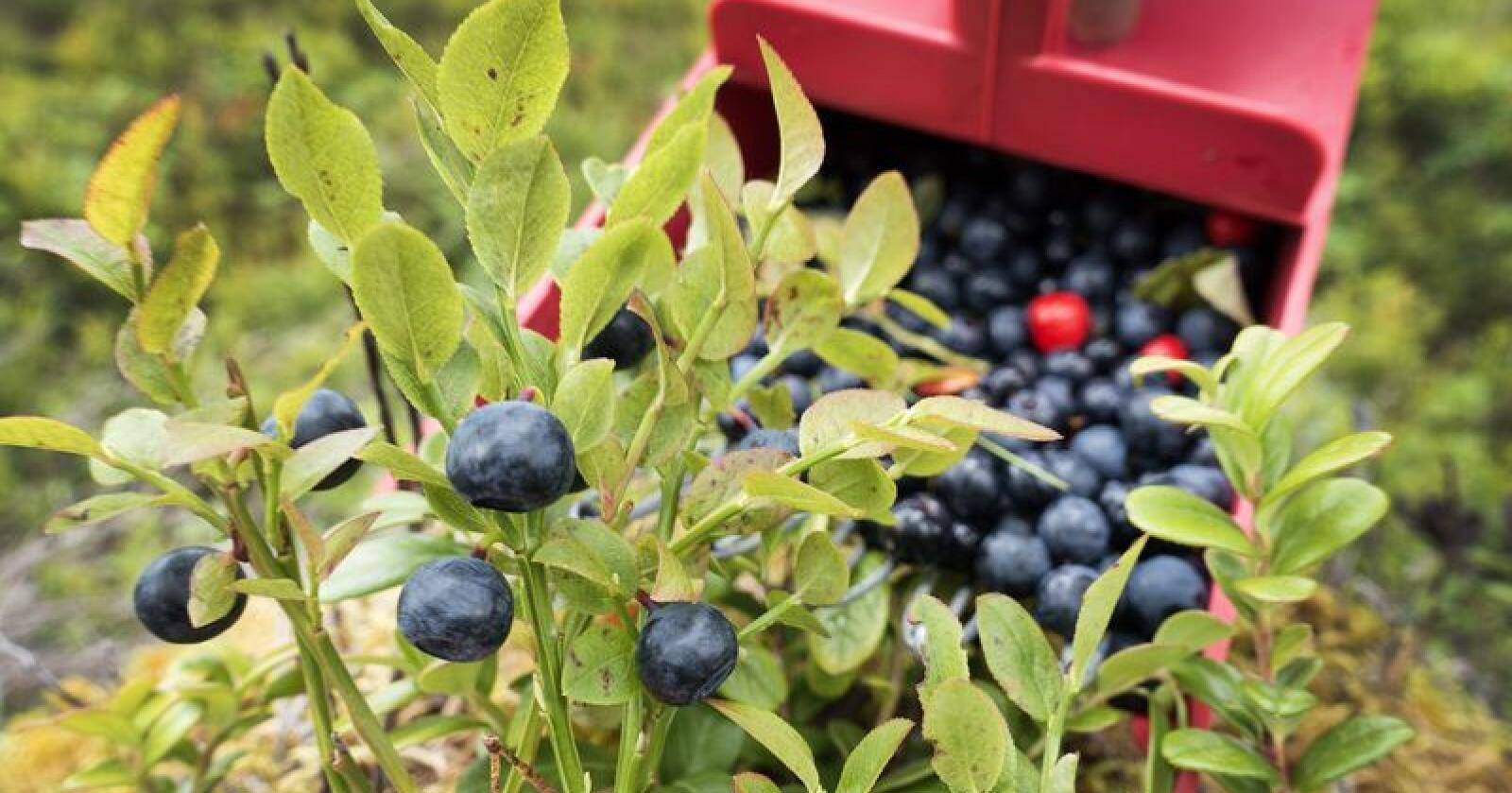 I år er det 90 prosent færre blåbær i Norge enn i toppåret 2017. Foto: Gorm Kallestad / NTB scanpix / NPK