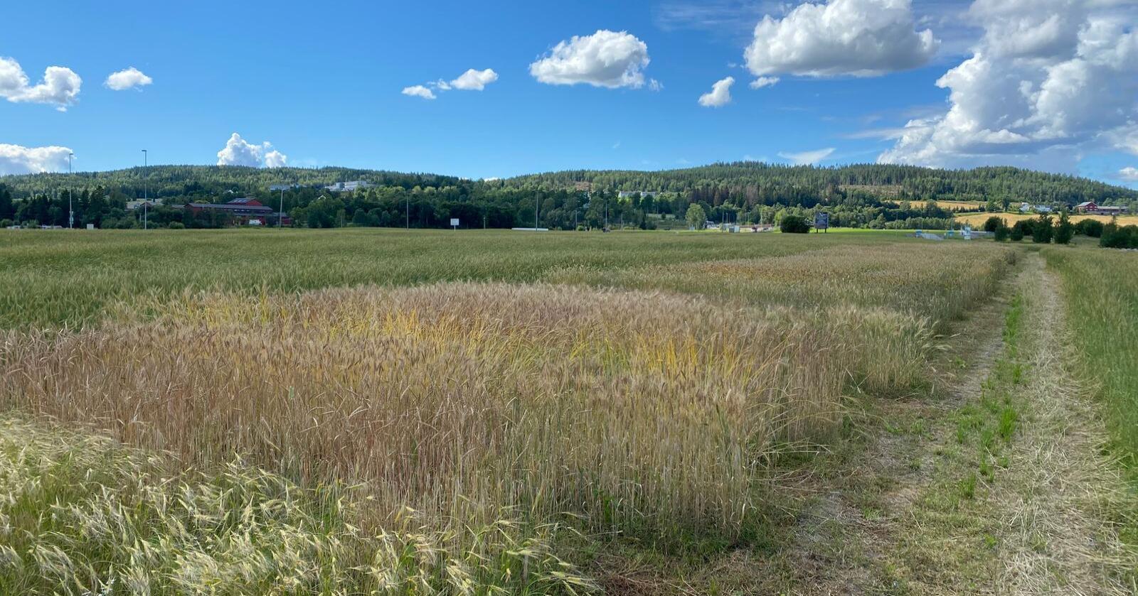 Demofeltet på Hellerud gård i Lillestrøm skal være landets største i antall og variasjon av høsthvete og speltsorter med nordisk og europeisk opprinnelse. Foto: Norges Vel