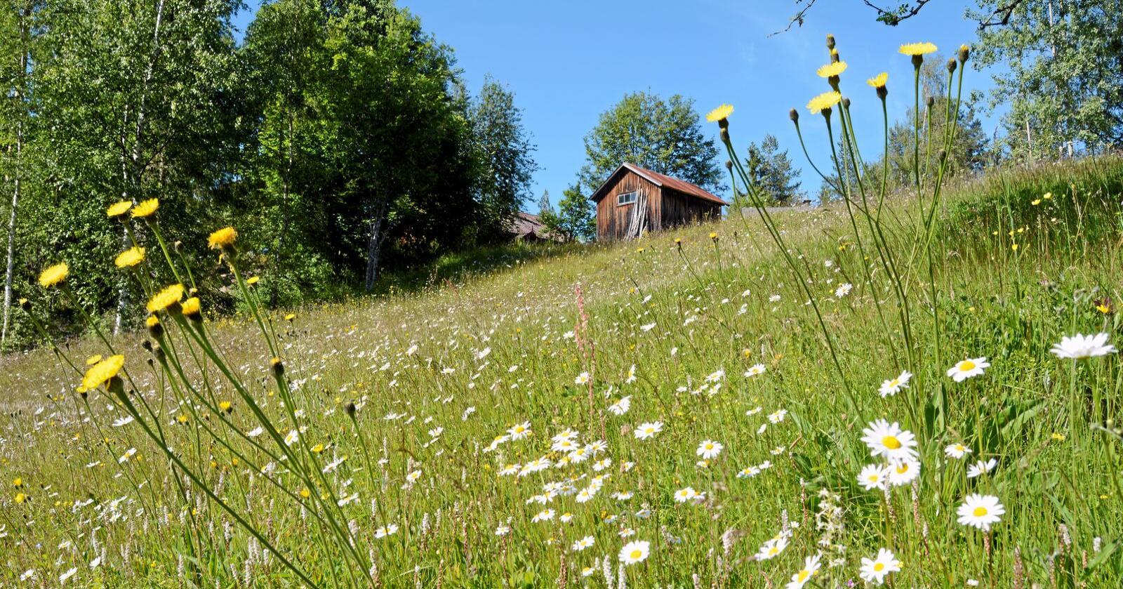 Blomstereng: Utfjøsbakken på Nedre Lehovd. Foto i boka «Folka og landskapet»: Jan Fekjan