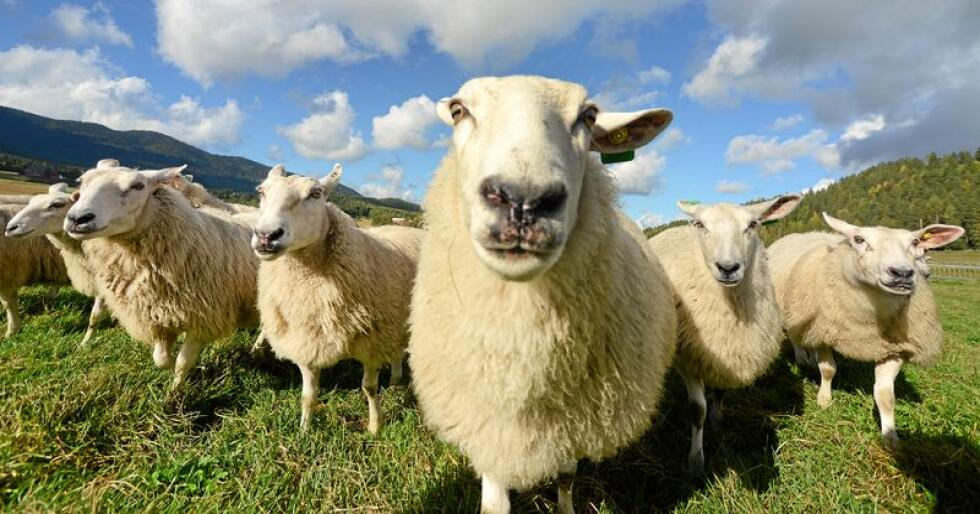 På ni år har det vært en kraftig nedgang på antallet søknader om erstatning for sauer og lam tatt av rovdyr. Foto: Siri Juell Rasmussen