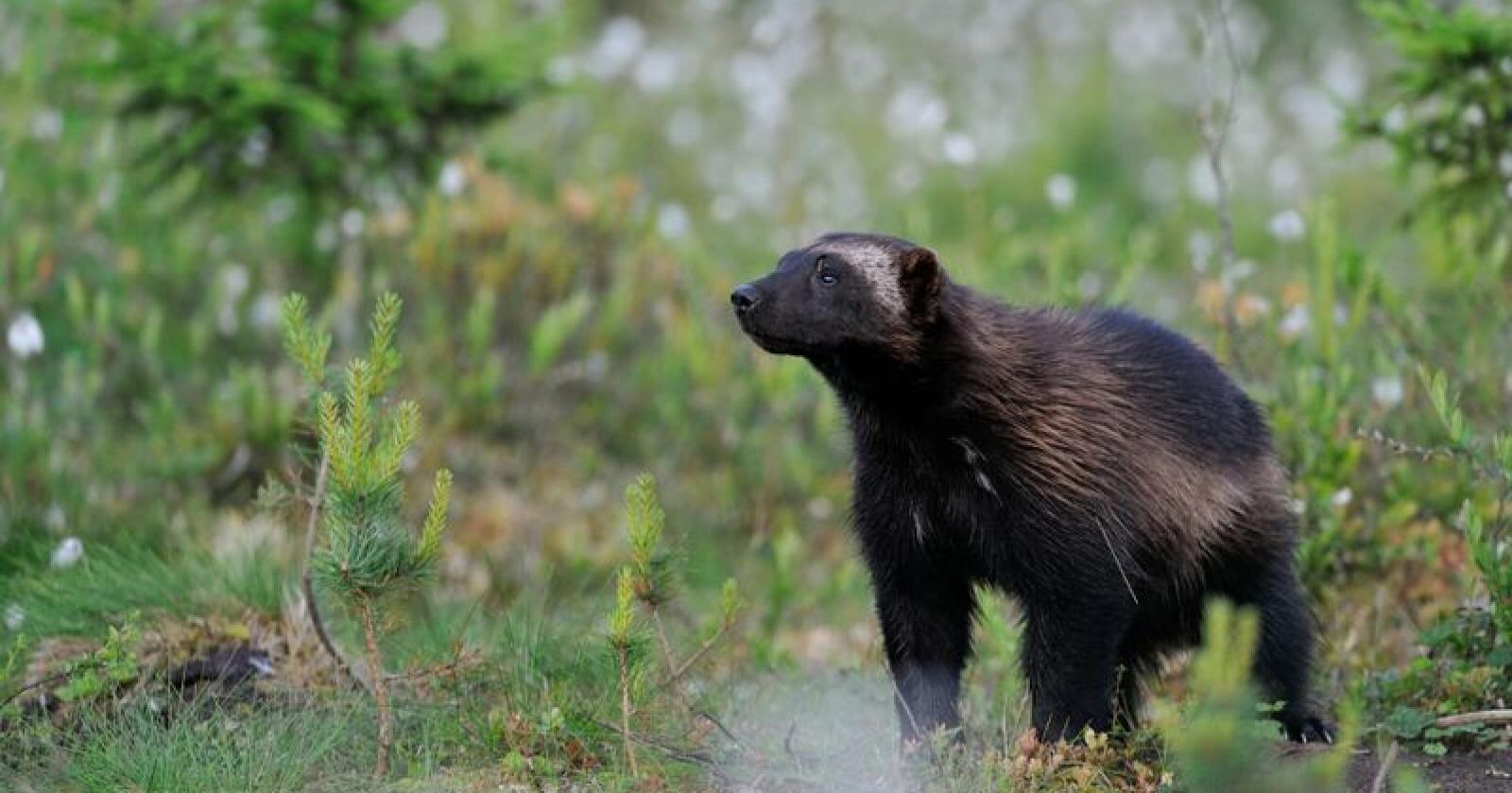 Etikkvalg: Jerv kan skytes i jakta eller dras ut fra vinterhiet om våren. Foto: Mostphotos