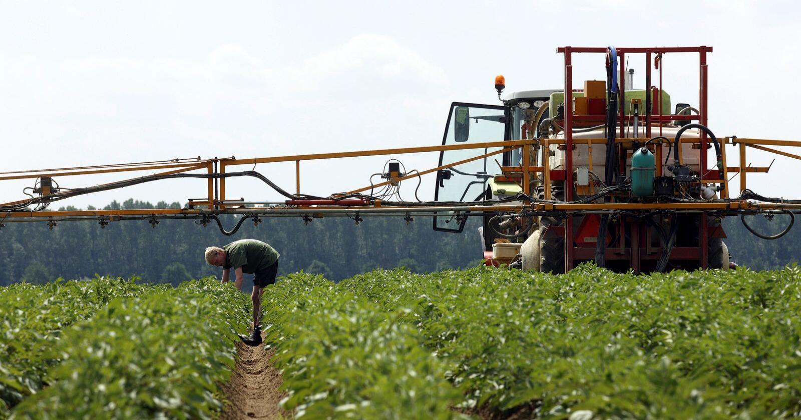Det amerikanske selskapet Simplot mener at deres andre generasjon GMO-poteter bare trenger halvparten så mye tørråtesprøyting. Illustrasjonsfoto: Colorbox