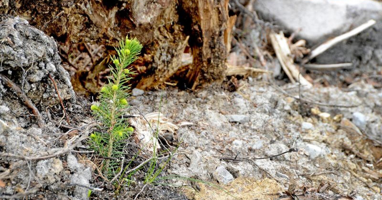 Planting av skog på nye arealer er et godt klimatiltak, men klima- og miljødepartementet vil gå nøye gjennom konsekvensene. Foto: Mariann Tvete
