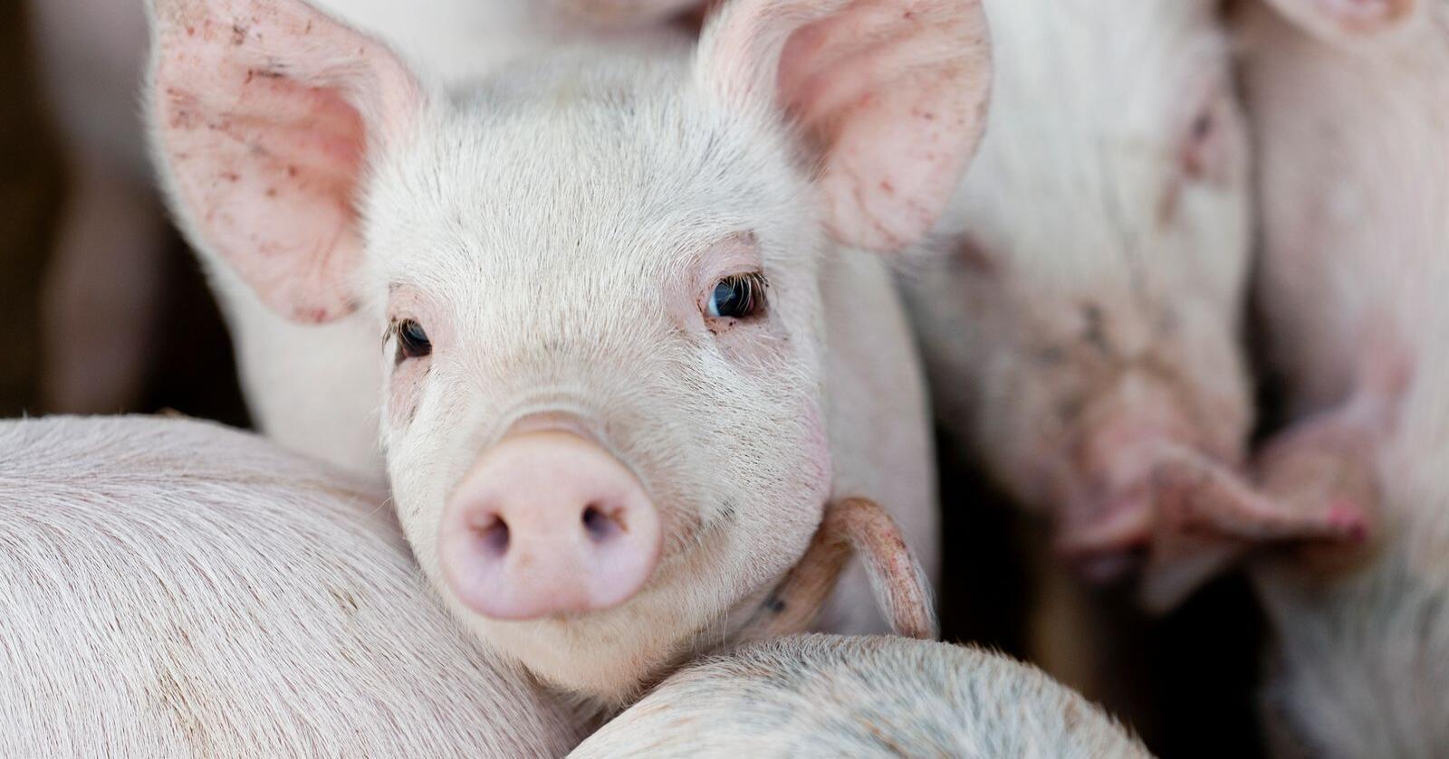 Så godt som alle griser som smittes med afrikansk svinepest, dør av sykdommen. Foto: Colourbox
