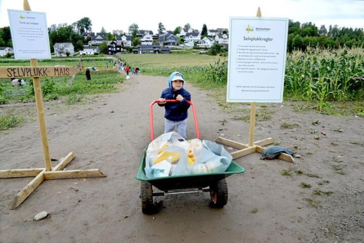 John Fredrik Braath (5) fra Moss elsker mais. Han kommer med familien sin flere ganger i sesongen for selvplukk hos Tomtermais i Drøbak. Alle foto: Mariann Tvete.