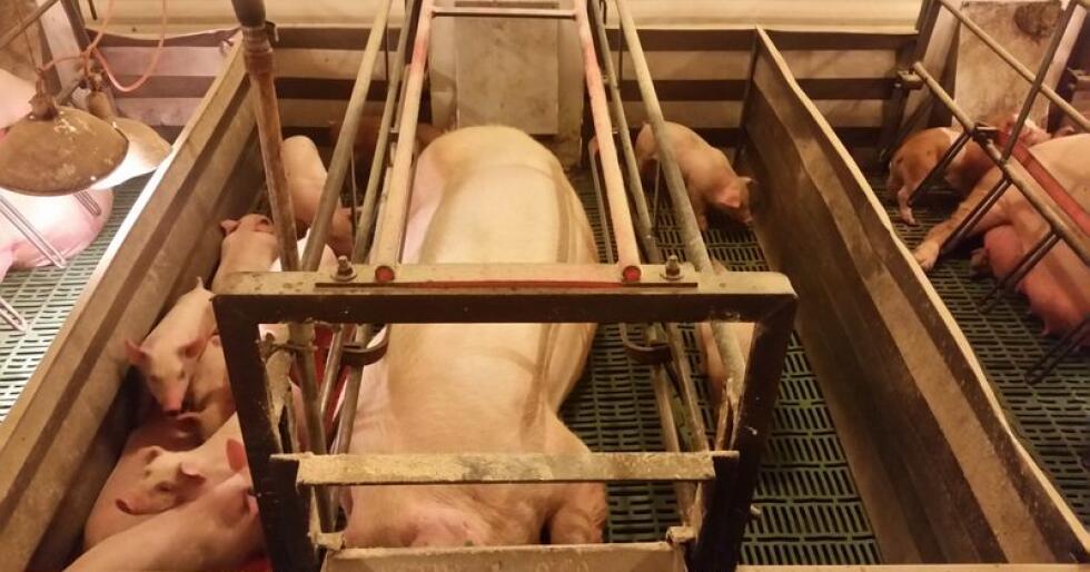"""2000 danske """"superpurker"""" som produserer rundt 10 prosent mer smågris per år enn australske purker kreves nå avlivet av den australske svineprodusentforeningen. Illustrasjonsfoto: Ole Emil Øygarden"""