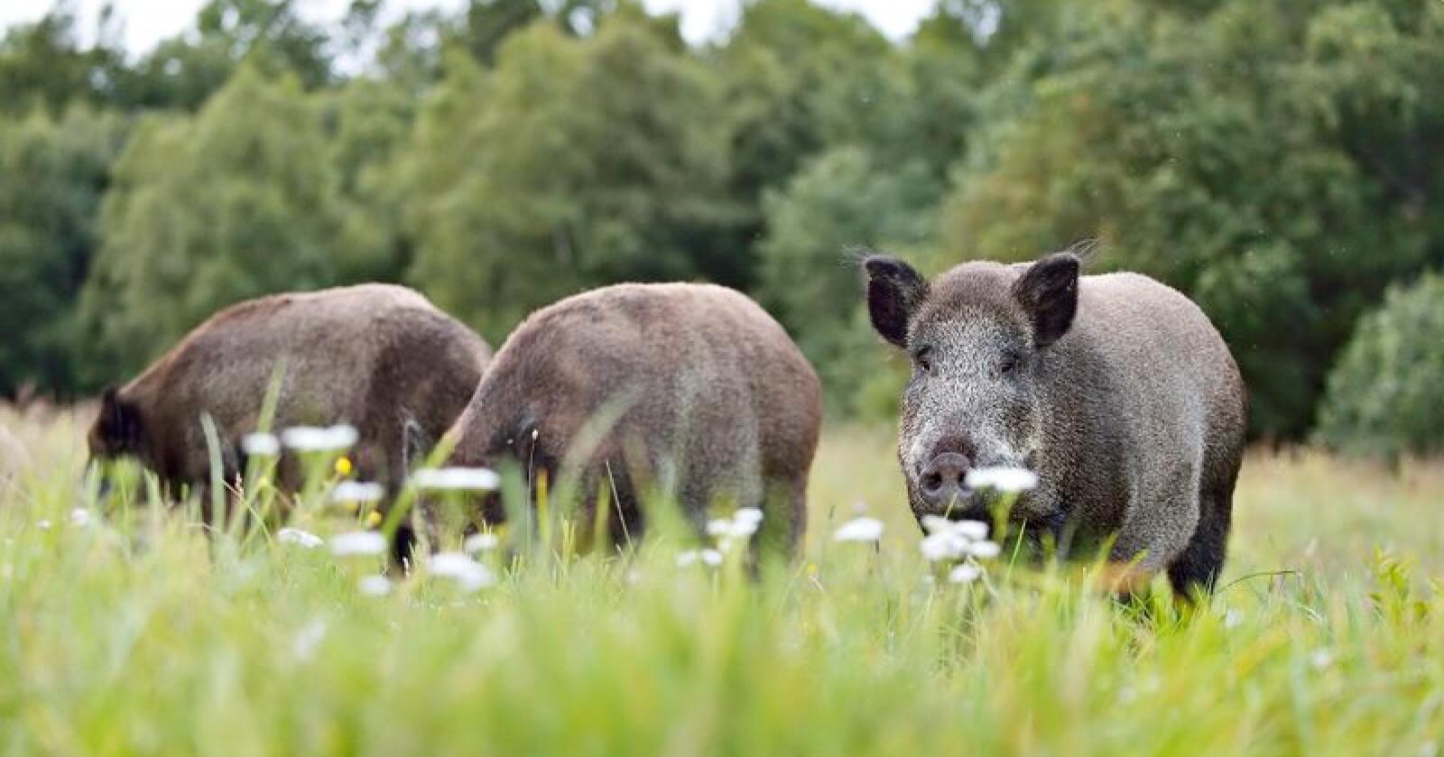 Belgia fikk registrert afrikansk svinepest i september 2018. Nå sprer sjukdommen seg i landet. Foto: Erik Mandre/Mostphotos