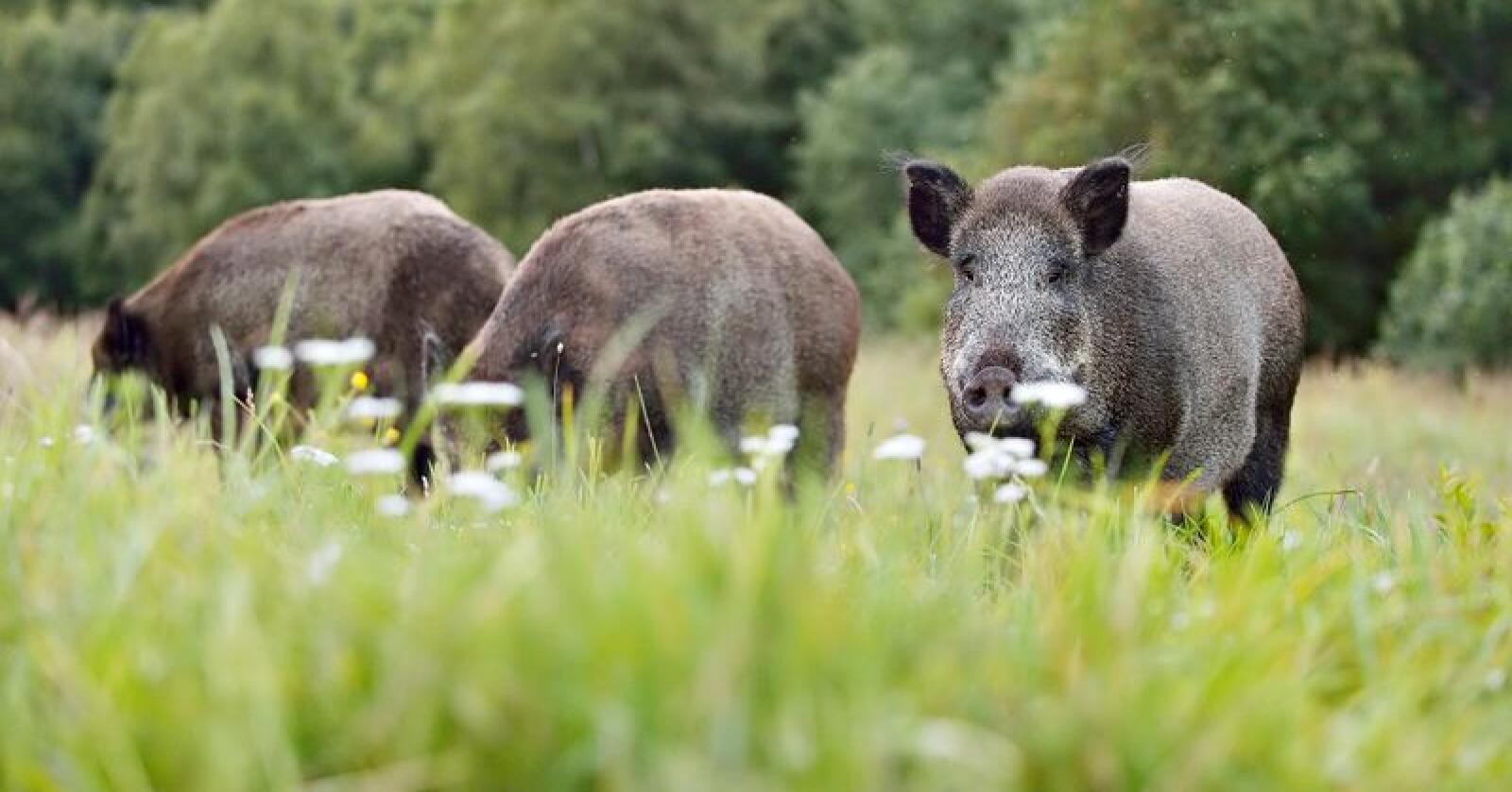 Viruset smitter bare dyr av svinefamilien (Suidae). Tamsvin og europeisk villsvin er svært mottakelige for infeksjonen, og dødsraten er høy. (Illustrasjonsfoto: Erik Mandre/Mostphotos)