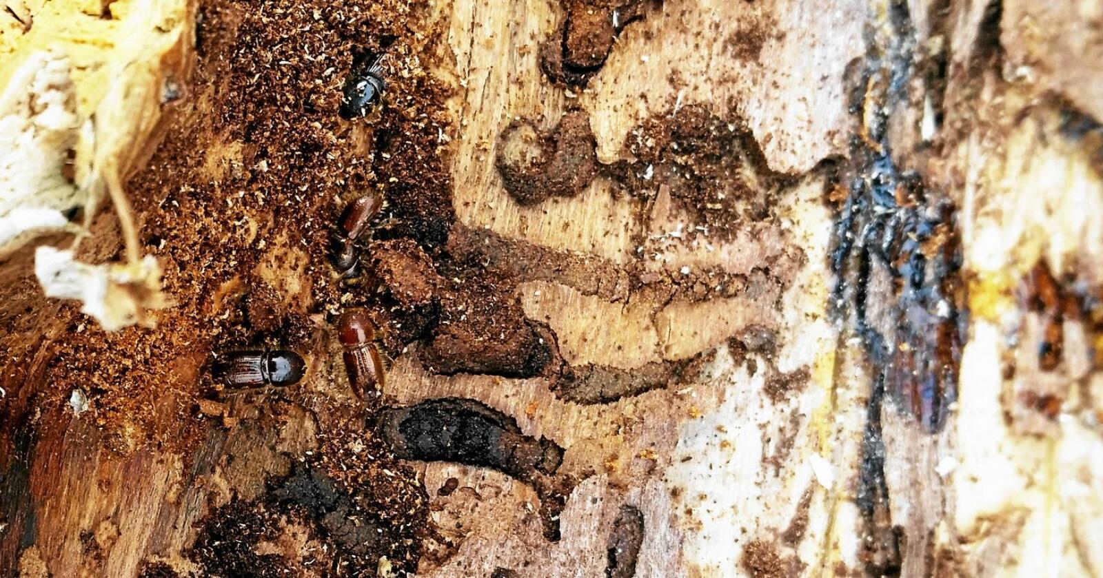 Stor skade: Barkbiller kan gjøre stor skade på skog. Her fra barkbilleovervåking i Trøndelag 2016. Foto: Reidun Gomo / Nibio