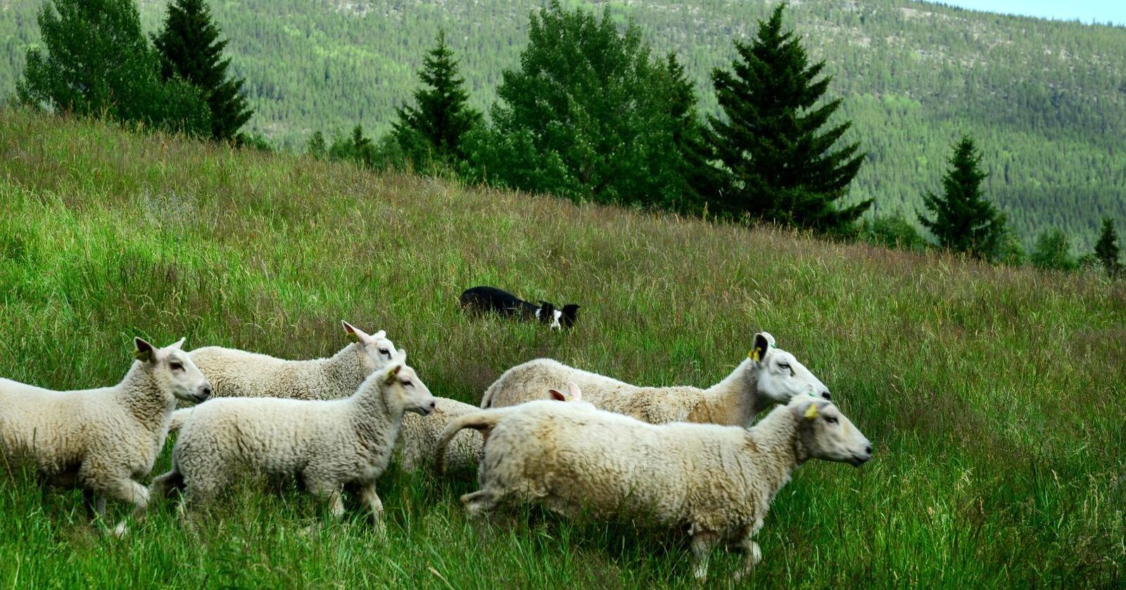 Norsk Sau og Geit vil blant annet gradvis avvikle kvoteutleie av geitemelkkvote. Foto: Siri Juell Rasmussen