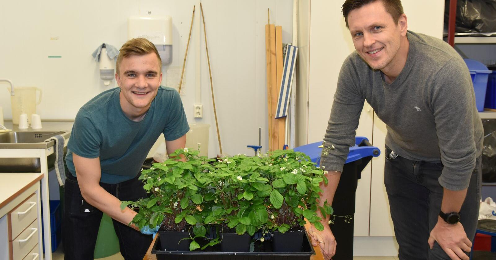 Forsøk: Masterstudent ved NMBU Oskar Schnedler Bjorå og Nibio-forsker Tage Thorsteinsen er nå i gang med smitteforsøk der de tester om markjordbæra faktisk har blitt mer resistent mot gråskimmelsoppen. Foto: Siri Elise Dybdal, Nibio
