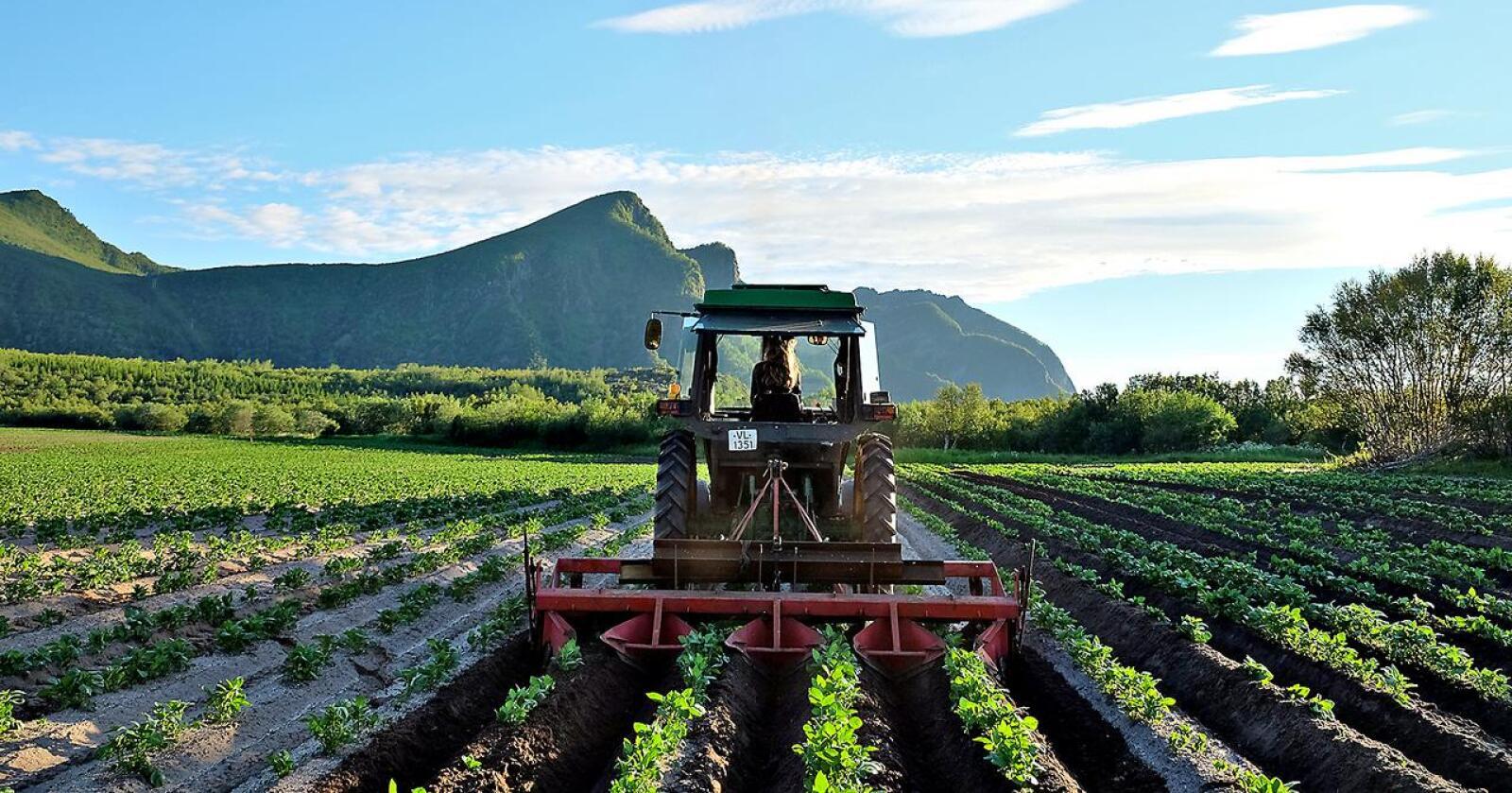 Leie av jord til potetproduksjon går kraftig tilbake på jordleiestatistikken. Bildet er fra Engleøya i Nordland. (Arkivfoto)