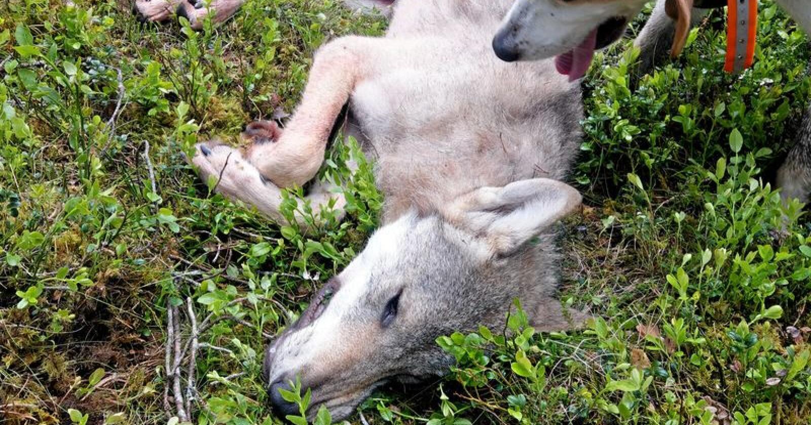 Ulv skutt i Tynset på skadefelling. Foto: Skadefellingslaget i Nord-Østerdalen